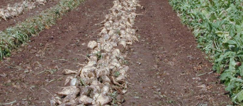 El importe unitario provisional de la ayuda asociada a la remolacha azucarera en la zona sur…