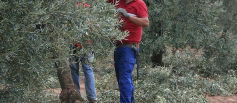 Aprende DE FORMA GRATUITA con ASAJA-Sevilla la técnica de poda del olivo