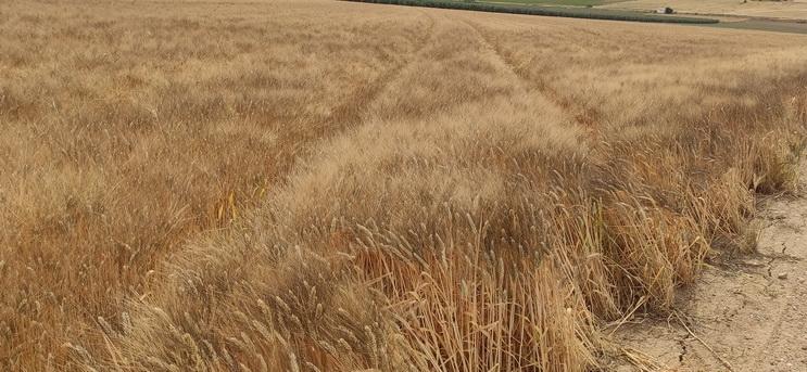 Campaña de cereales: Las cotizaciones se instalarán en rangos altos al menos durante el próximo semestre