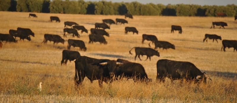 ASAJA-Sevilla demanda medidas de apoyo para el sector del vacuno de carne con especial incidencia en…