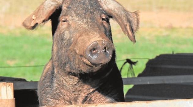 Ya se pueden presentar en Andalucía las solicitudes de ayudas al sector del porcino ibérico