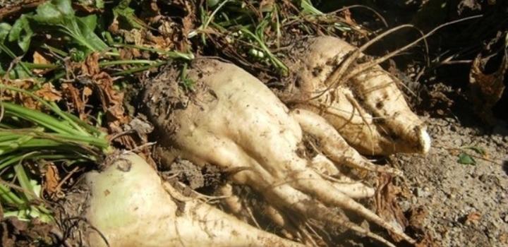 Evolución fitosanitaria del cultivo de remolacha azucarera durante el mes de mayo