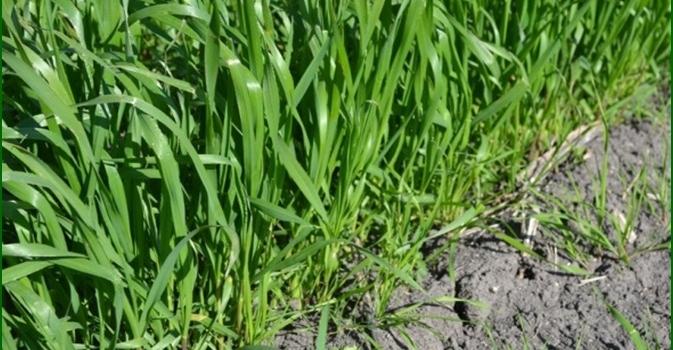 Autorización provisional para el control integrado de malas hierbas en trigo blando