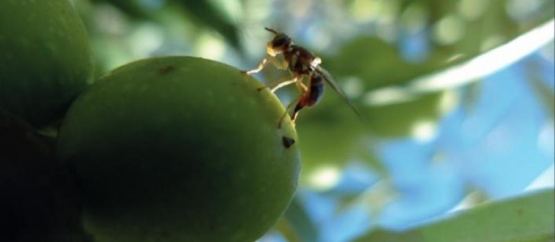 Baja incidencia de la mosca del olivo en Sevilla en estos días aunque se debe extremar…