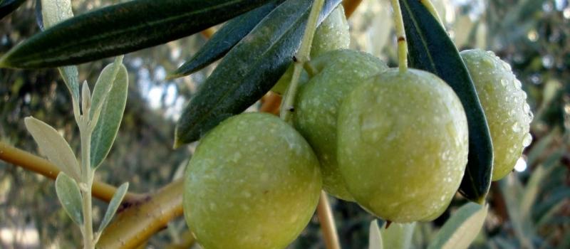 Andalucía producirá 1.050.300 toneladas de aceite de oliva en la campaña 2021-2022
