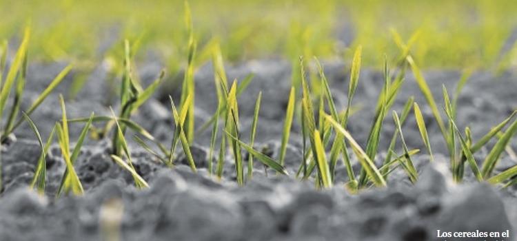 Las primeras lluvias riegan de optimismo las cosechas de cereales y de girasol