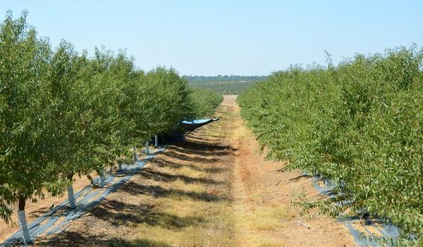 Andalucía recolecta ya un tercio de la producción española de almendra