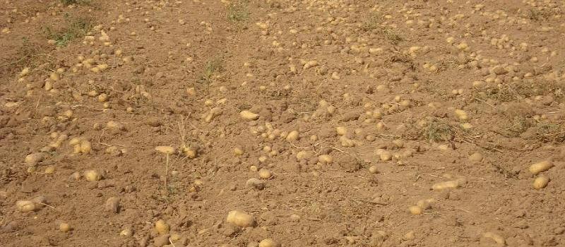Autorización provisional contra el gusano de alambre en la patata