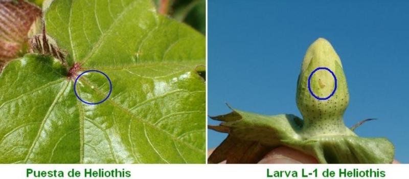 Primeras puestas y larvas de heliotis en algodón