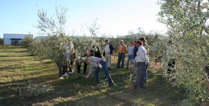 ¡Aprende a podar correctamente un olivo con ASAJA-Sevilla! ¡Nuevo curso en Estepa!