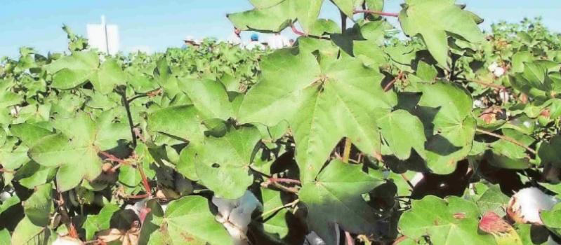 Nuevas etiquetas para valorizar la sostenibilidad del algodón andaluz en los mercados