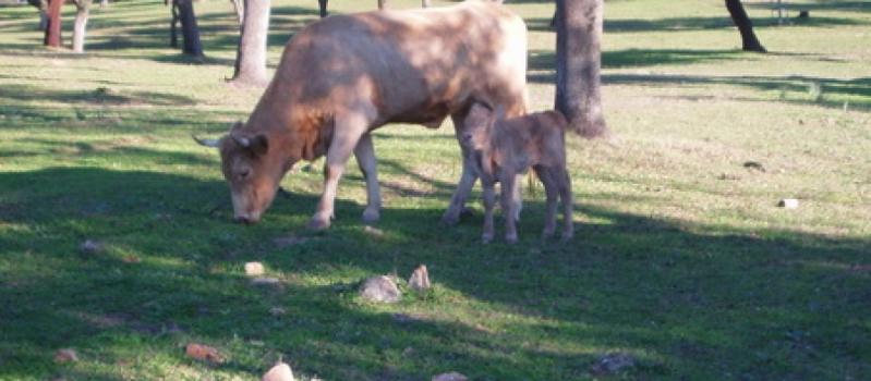El FEGA establece en 84,98 euros por animal la ayuda asociada provisional para explotaciones que mantengan…