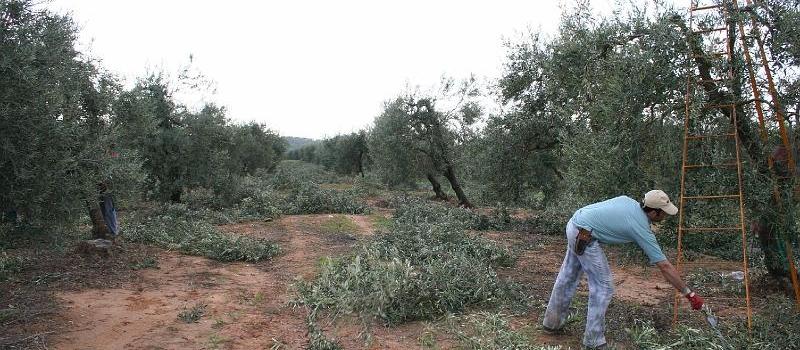 ¿Sabes cómo se tiene que podar un olivo? Aprende la técnica con ASAJA-Sevilla