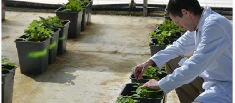Resistencia varietal a Sclerotium rolfsii en patata cultivada en condiciones controladas