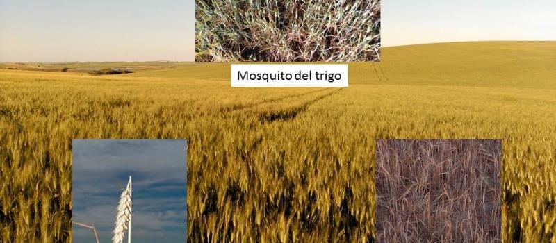 ¿Cómo identificar los insectos que causan daños en los cereales de invierno?