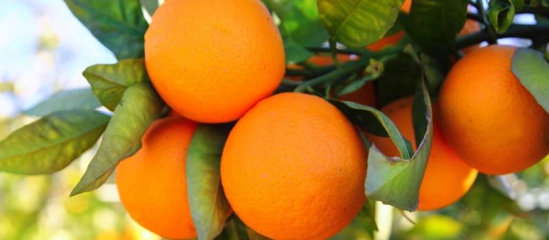 Andalucía supera los 2,3 millones de toneladas de cítricos