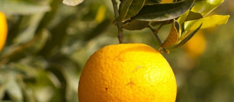 ¿Cómo influyen las altas temperaturas en las plagas en el cultivo de los cítricos?