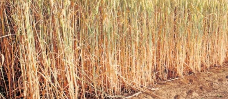 El 25% de los cereales de Andalucía sufren ya una