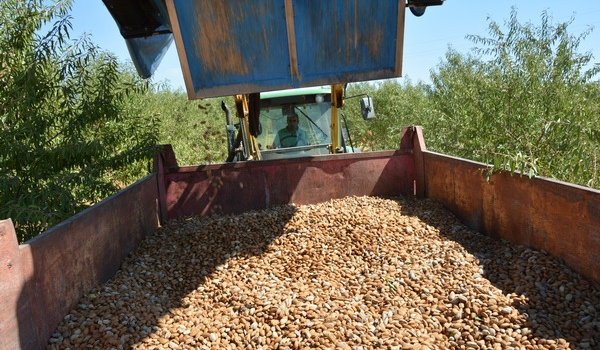 Sevilla incrementa su producción de almendra un 60%, superando las 10.000 toneladas