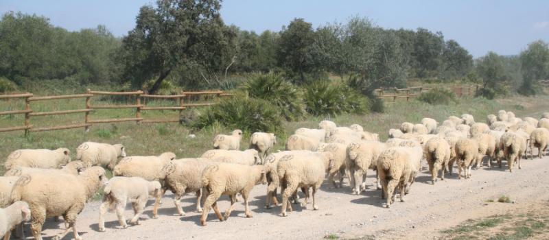 El FEGA fija en 11,57 euros el importe provisional de la ayuda asociada al ovino y…