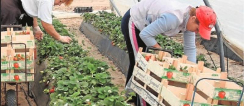 Falta personal para coger fresas, aceitunas, cítricos y fruta de hueso