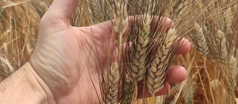 El marzo más seco del siglo merma la cosecha andaluza de trigo duro, que se reduce…