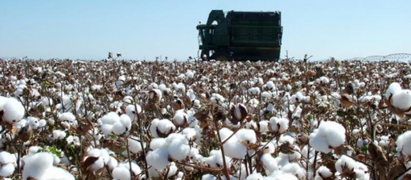 La recolección de algodón alcanza su ecuador en Sevilla