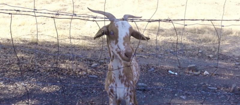 La provincia de Sevilla, reconocida oficialmente indemne de brucelosis ovina y caprina