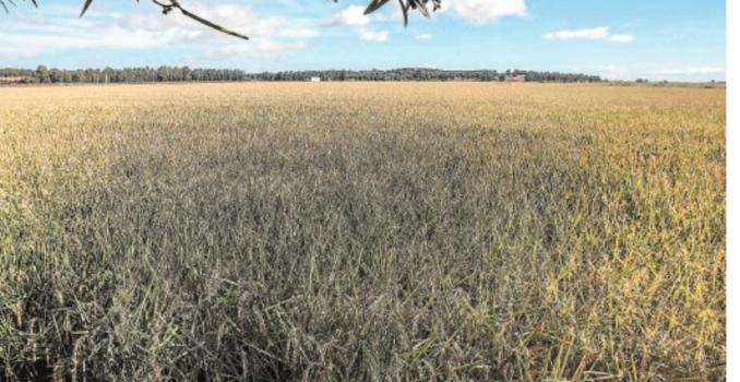 El arroz plantea un nuevo ecoesquema para evitar el recorte de ayudas directas