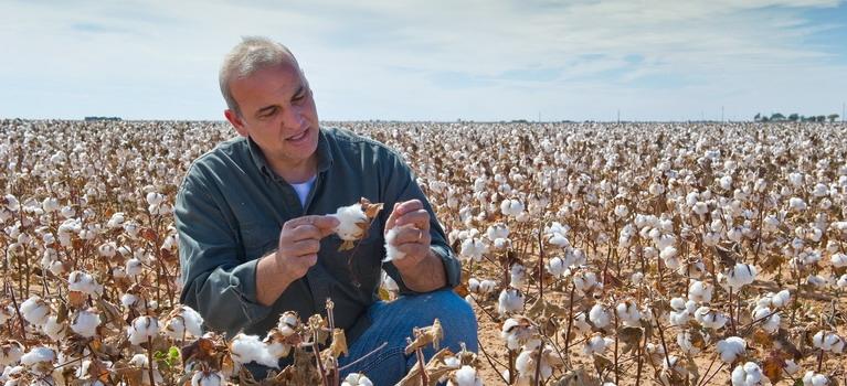 Evolución del cultivo de algodón durante el mes de agosto