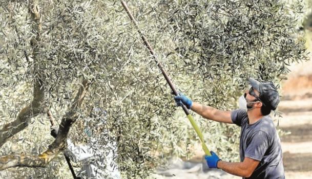 La sequía deja ya parcelas enteras de olivar de mesa irrecuperables para el verdeo