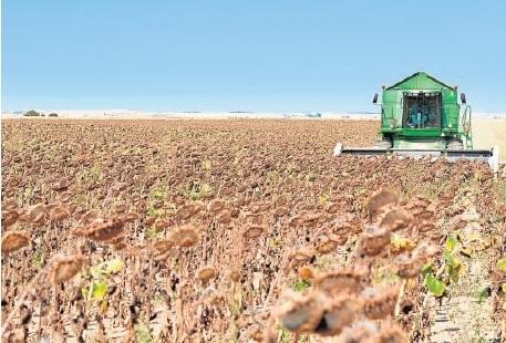 Una vez más, llegan las rebajas al girasol al inicio de cosecha