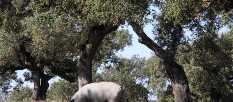 La campaña de la montanera finaliza con un 9% menos de cerdos ibéricos de bellota sacrificados