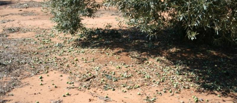 Declaración de daños en agricultura por lluvias torrenciales y pedrisco en Las Cabezas de San Juan…