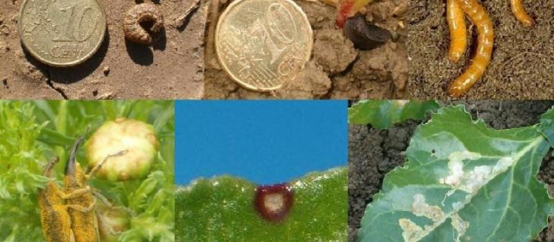 ¿Qué plagas pueden afectar en los primeros estadios de desarrollo de la remolacha azucarera?