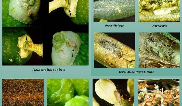 Situación actual de polilla del olivo en Andalucía