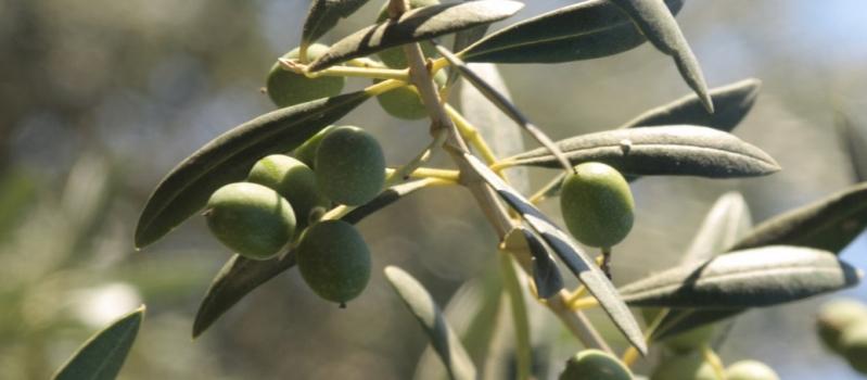 La vecería y la sequía marcan el inicio del verdeo en Andalucía