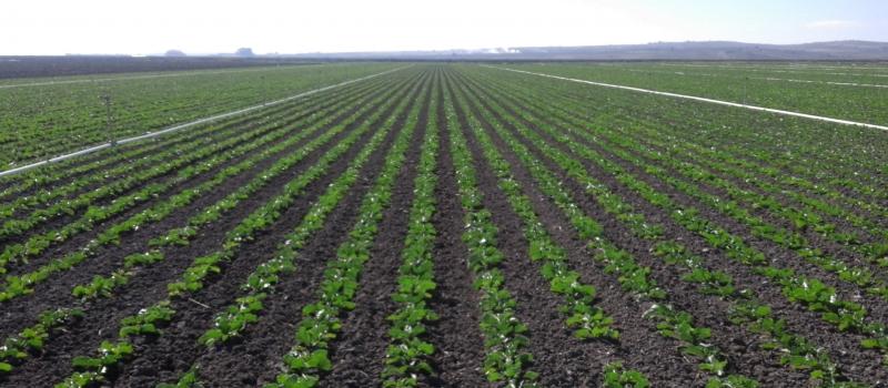 Buen desarrollo vegetativo y fitosanitario del cultivo de la remolacha azucarera